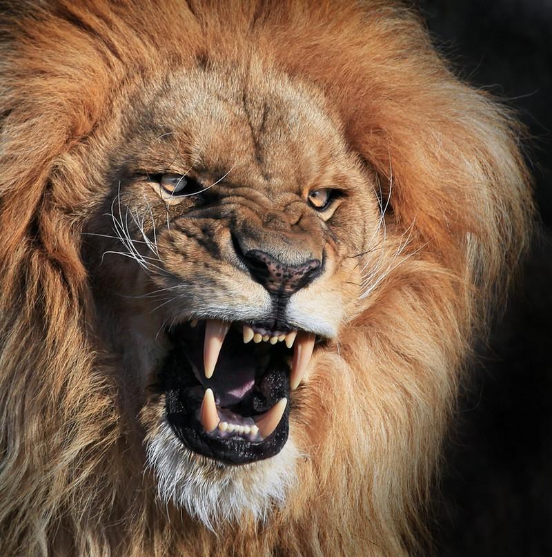angry animals lion google pix advertisements